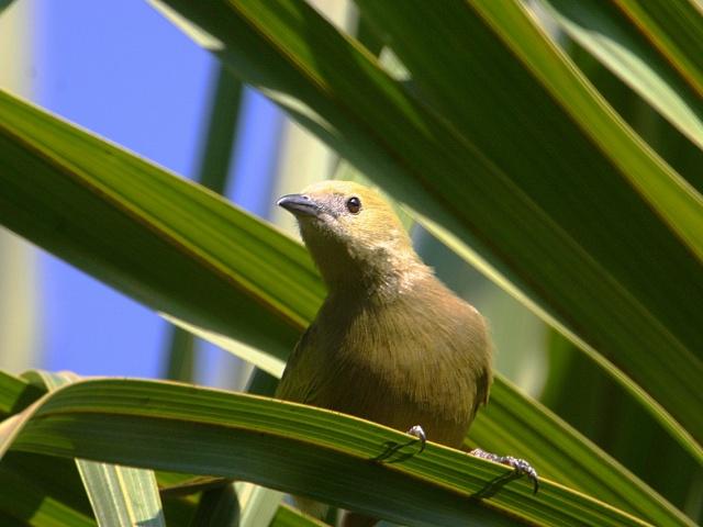 Sanhaçu-do-coqueiro